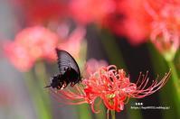 真赤な花火のような彼岸花 - azure 自然散策 ~自然・季節・野鳥~