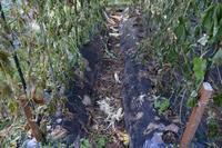 自然栽培今日も仕舞い作業を始めた人も - 自然栽培 釧路日記