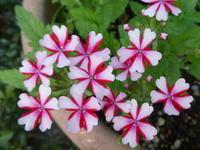 我が家の花バーベナ咲く - 風の便り