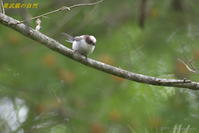 たぶん、シマエナガ - 奥武蔵の自然