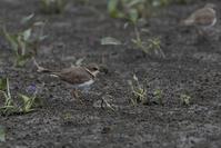 田んぼも鳥が少ないな・・・ - おおやのデジスコ散歩道
