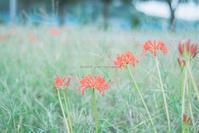 彼岸花に会いに。 - Yuruyuru Photograph
