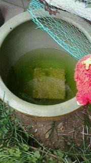 念願の金魚を2匹ゲットと増税前のにゃんこ缶でポイント貯まる -