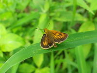 13ヘリグロチャバネセセリ「蝶図鑑」 - 超蝶