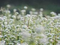 蕎麦畑 2奈良県 - ty4834 四季の写真Ⅱ