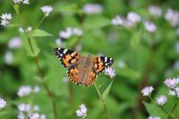 近場の秋の蝶:ヒメアカタテハ他 - Lycaenidaeの蝶鳥撮影日記