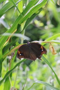 クロコノマの開翅とリュウキュウムラサキ - 蝶超天国