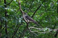 渡りの立ち寄りの鳥(ツツドリその2) - 私の鳥撮り散歩