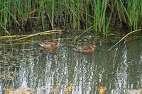 近所の池にコガモが渡って来た!・・・いよいよ冬鳥シーズンの始まり♪ - 『私のデジタル写真眼』