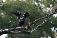 威嚇をするハシブトガラス - 野鳥公園