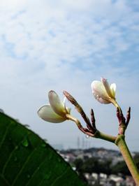 本日のプルメリアの花芽😍と曼珠沙華♥ - Aloha Kayo-s Style