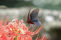 ナガサキアゲハ彼岸花再訪 - 蝶のいる風景blog