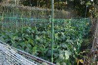 自然栽培タヌキだそう対策はネットしか枝豆の四世 - 自然栽培 釧路日記