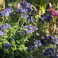 秋のネメシア - sola og planta ハーバリストの作業小屋