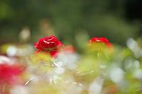 バラが咲いたらお別れ会@旧古河庭園 - 設計事務所 arkilab