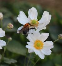 八重咲アナベル返り咲き&やってもーた - ペコリの庭 *