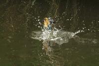 N川のカワセミ、遠くで飛び込み。 - 小川の野鳥達