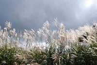 秋空揺れるススキ(生石高原) - ♪一枚のphotograph♪