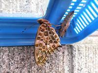 蝶の羽化 - しらこばとWeblog