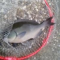 日曜日は熊本県天草市牛深へ尾長クロ釣りに行く - ステンドグラスルーチェの日常