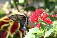 クロアゲハ秋の蝶たち - 蝶のいる風景blog