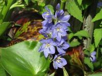 ミズアオイ水辺の秋に咲く - タビノイロドリ