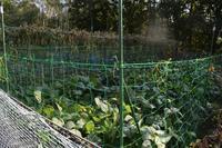 自然栽培ネット張りはまだキツネも収穫 - 自然栽培 釧路日記