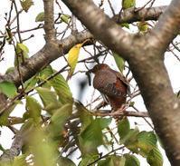 赤色ツツドリは・・・ - 一期一会の野鳥たち
