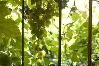 ぶどうを水に変える - 世話要らずの庭