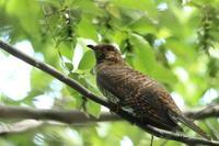ツツドリ② 行列のできる枝 - 気まぐれ野鳥写真