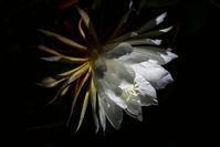 凛として我が家で咲いた貴婦人!・・・月下美人は何時見てもキレイだな~♪ - 『私のデジタル写真眼』