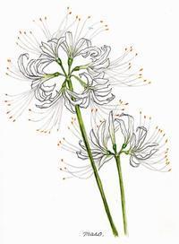 白いリコリスが咲いた。 - がちゃぴん秀子の日記