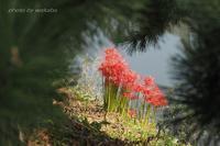 草加の松並木と彼岸花のコラボ(^^♪ - 自然のキャンバス