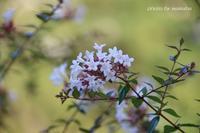 綾瀬川沿いで咲くアベリアの花(^^♪ - 自然のキャンバス