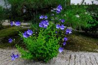桔梗咲く光明院 - 花景色-K.W.C. PhotoBlog
