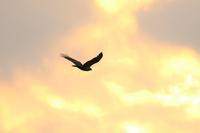 鷹の渡 - 平さん
