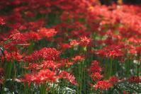 ★ 彼岸花を見に行ったけど - うちゅうのさいはて