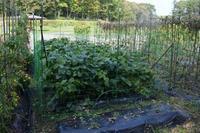 自然栽培ネット張り庭での栽培 - 自然栽培 釧路日記
