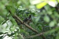 MFの森の水場近くで(ツツドリ) - 私の鳥撮り散歩
