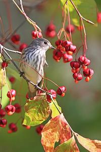秋のヒタキ2@北海道。 - 季節の野鳥~Wildbirds archives