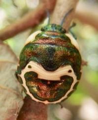 #カメムシ 『赤筋金亀虫』  Poecilocoris lewisi - 自然感察 *nature feeling*