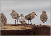シギ・チ潮が引くまではここで - 野鳥の素顔 <野鳥と日々の出来事>