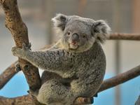 コアラの子守りはポッケに抱っこ、これから増えていくおんぶ - bonsoir