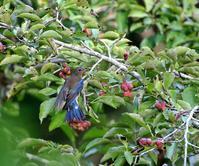 コブシの実を啄むオオルリ・・・ - 一期一会の野鳥たち