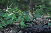 MFの森の水場にてキビタキ2羽幼鳥? - 私の鳥撮り散歩