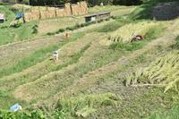 稲刈りの風景 - 素顔のままで