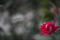 旧古河庭園にも居るんです カワセミくん。 - MIRU'S PHOTO