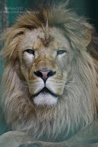 2019.7.13 東北サファリパーク☆白獅子ポップと茶獅子ノゾム【Lions】 - 青空に浮かぶ月を眺めながら