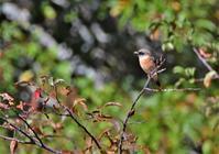 戦場ヶ原の野鳥と草紅葉 - バードカラー