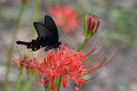 彼岸花にジャコウアゲハ - 蝶と自然の物語